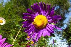 Abeja de la miel en una flor púrpura hermosa Imagenes de archivo