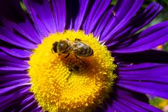 Abeja de la miel en una flor púrpura hermosa Fotografía de archivo libre de regalías