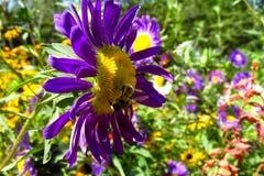 Abeja de la miel en una flor púrpura hermosa Imágenes de archivo libres de regalías