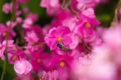 Abeja de la miel en una flor rosada Fotos de archivo libres de regalías
