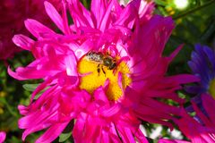 Abeja de la miel en una flor violeta hermosa Fotos de archivo libres de regalías