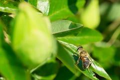 Abeja de la miel en una hoja Fotos de archivo