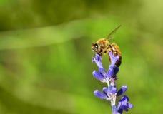 Abeja de la miel en una puntilla de la lavanda Imagen de archivo