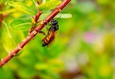 Abeja de la miel en una rama Foto de archivo libre de regalías