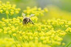 Abeja de la miel en vista delantera de la pastinaca Fotos de archivo