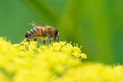Abeja de la miel en vista lateral de la pastinaca Fotografía de archivo