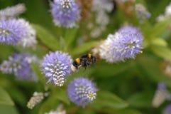 Abeja de la miel en vuelo Imágenes de archivo libres de regalías