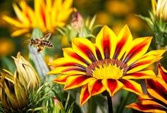 Abeja de la miel en vuelo cerca de las flores amarillas y anaranjadas Imágenes de archivo libres de regalías