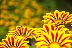 Abeja de la miel en vuelo cerca de las flores amarillas y anaranjadas Fotografía de archivo