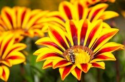 Abeja de la miel en vuelo cerca de las flores amarillas y anaranjadas Foto de archivo