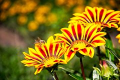 Abeja de la miel en vuelo cerca de las flores amarillas y anaranjadas Imagen de archivo