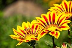 Abeja de la miel en vuelo cerca de las flores amarillas y anaranjadas Imagenes de archivo