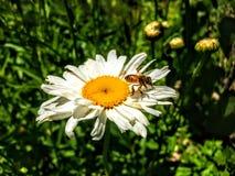 Abeja de la miel en vuelo en margarita en Utah América los E.E.U.U. Fotografía de archivo libre de regalías