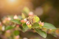 Abeja de la miel en wildflower Fotos de archivo libres de regalías