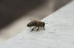 Abeja de la miel encendido Imagenes de archivo