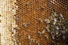 Abeja de la miel - encere el capítulo con las abejas en él Fotos de archivo libres de regalías