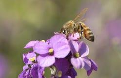 Abeja de la miel (mellifera de los Apis) Fotos de archivo libres de regalías