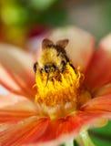Abeja de la miel (mellifera de los Apis) en la flor de la dalia Foto de archivo