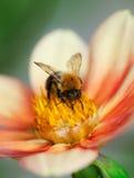 Abeja de la miel (mellifera de los Apis) en la flor de la dalia Fotografía de archivo libre de regalías