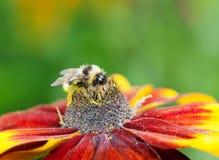 Abeja de la miel (mellifera de los Apis) en la flor del cono Fotografía de archivo
