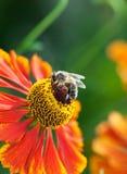 Abeja de la miel (mellifera de los Apis) en la flor del helenium Imagenes de archivo