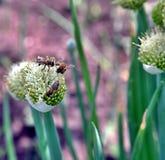 Abeja de la miel nectaring en las flores de la cebolla Imagenes de archivo