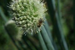 Abeja de la miel nectaring en las flores de la cebolla Fotografía de archivo libre de regalías