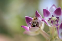 Abeja de la miel ocupada en la recogida de la miel herbaria del jugo de la miel de imagenes de archivo