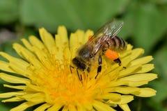 Abeja de la miel ocupada polinizando una flor del diente de león Foto de archivo libre de regalías