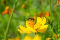 Abeja de la miel polinizada de la flor amarilla Imagen de archivo libre de regalías