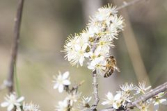 Abeja de la miel por completo del polen en una flor blanca en naturaleza Fotografía de archivo libre de regalías