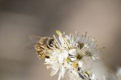 Abeja de la miel por completo del polen en una flor blanca en naturaleza Imagen de archivo