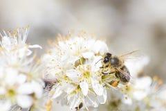 Abeja de la miel por completo del polen en una flor blanca en naturaleza Foto de archivo