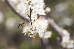Abeja de la miel por completo del polen en una flor blanca en naturaleza Imágenes de archivo libres de regalías