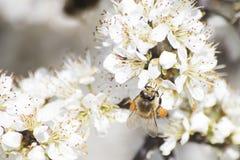 Abeja de la miel por completo del polen en una flor blanca en naturaleza Fotografía de archivo