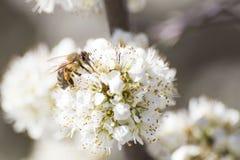 Abeja de la miel por completo del polen en una flor blanca en naturaleza Foto de archivo libre de regalías