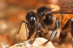 Abeja de la miel que bebe en cierre Imagen de archivo