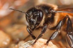 Abeja de la miel que bebe en cierre Fotos de archivo