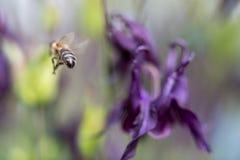 Abeja de la miel que busca para la comida Fotografía de archivo libre de regalías