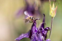 Abeja de la miel que busca para la comida Foto de archivo libre de regalías