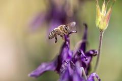 Abeja de la miel que busca para la comida Imagen de archivo libre de regalías