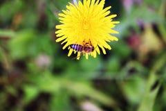 Abeja de la miel que chupa el néctar Fotos de archivo