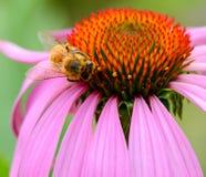 Abeja de la miel que chupa el néctar de la flor Foto de archivo