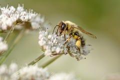 Abeja de la miel que chupa el polen Fotografía de archivo libre de regalías