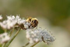 Abeja de la miel que chupa el polen Fotos de archivo