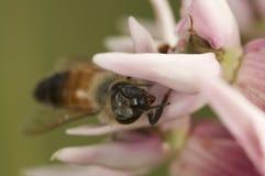 Abeja de la miel que come en una flor rosada Imágenes de archivo libres de regalías