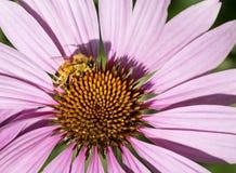 Abeja de la miel que consigue el néctar de coneflower púrpura Foto de archivo libre de regalías