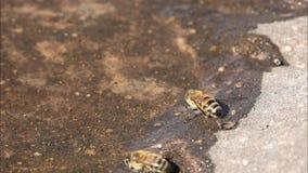 Abeja de la miel que consigue una bebida del agua de una piscina baja que también contiene otros pequeños animales como pulgas de almacen de metraje de vídeo