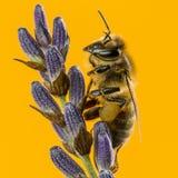Abeja de la miel que forrajea en un lavander delante de un backgroun anaranjado Foto de archivo libre de regalías