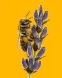 Abeja de la miel que forrajea en un lavander delante de un backgroun anaranjado Imagen de archivo